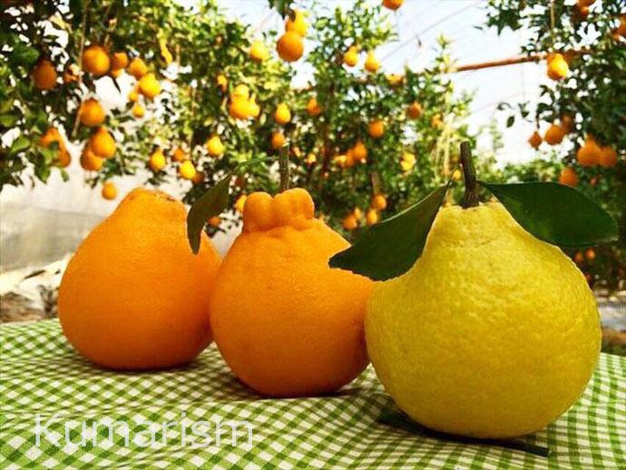 採れたてのデコポン♪鮮やかなオレンジ色と黄色に色づいています。一本の木に実がたくさんなっています!