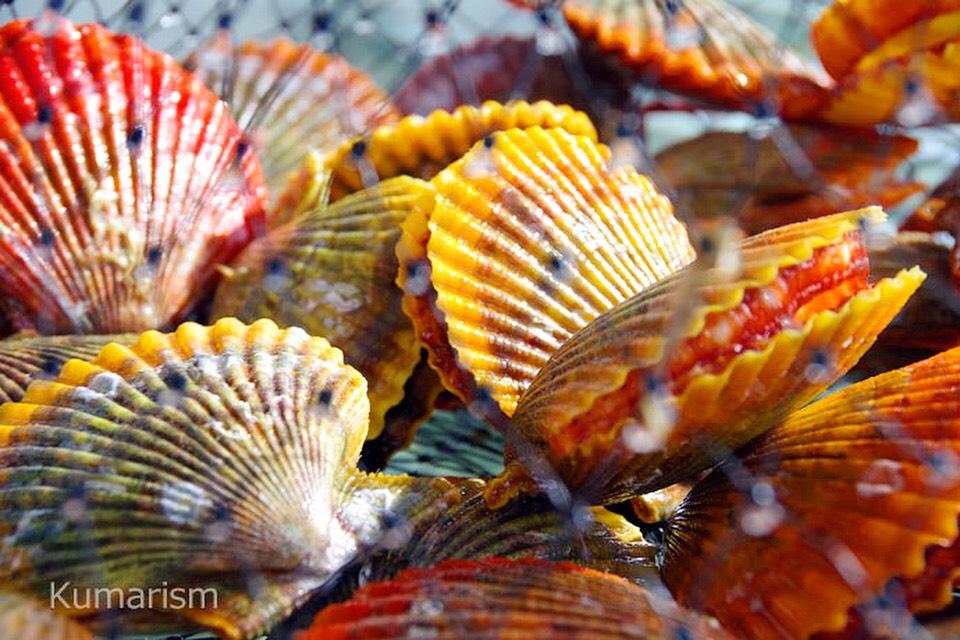 [福島水産] 天草灘・苓北の名産!無着色なのに色鮮やかな貝殻★甘くておいしい「緋扇貝(ひおうぎがい)」はいかがですか?