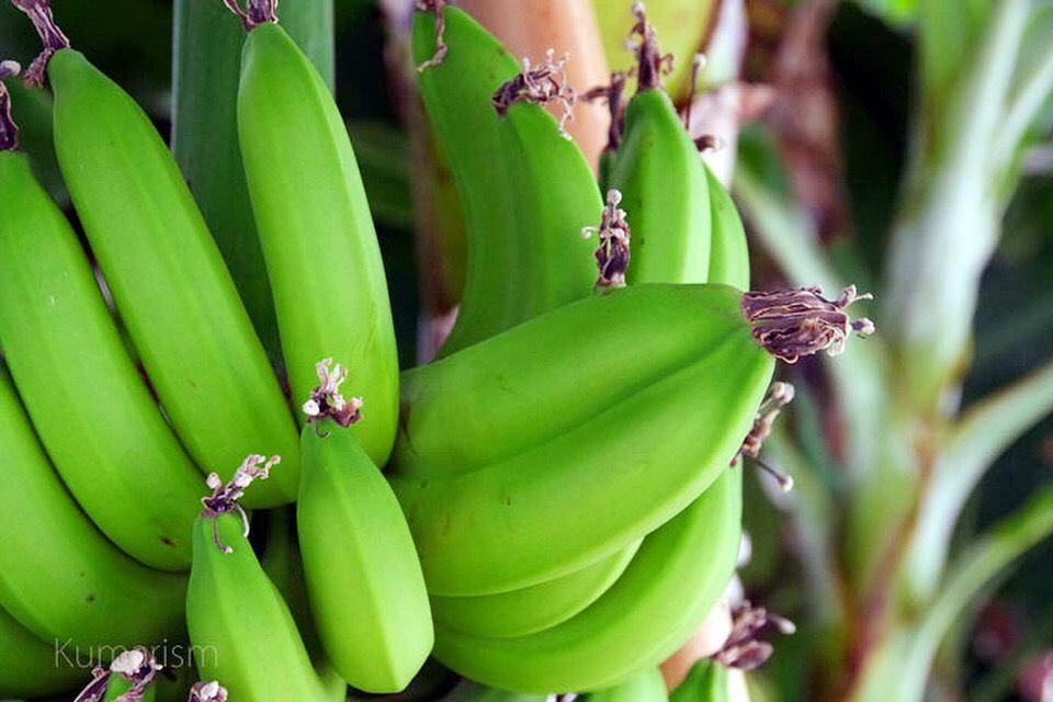 バナナ館で育てられているバナナ