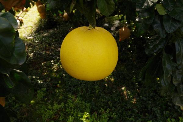 樹になっている晩白柚の写真
