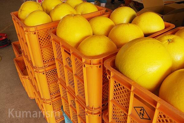選果場にて晩白柚の写真