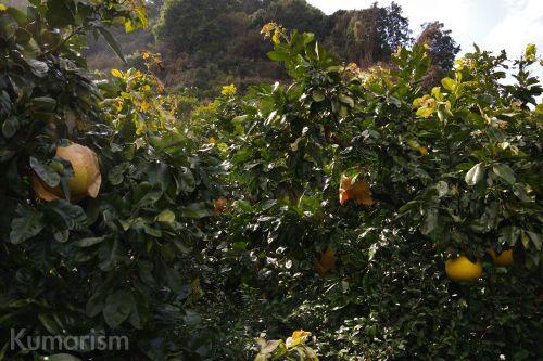 晩白柚の畑