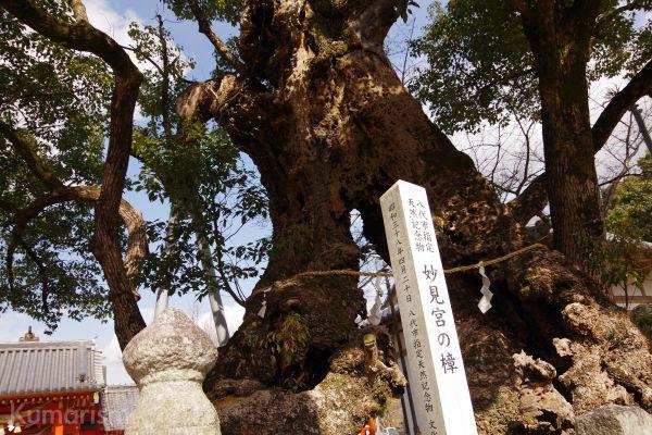 妙見宮内にある天然記念樹の写真