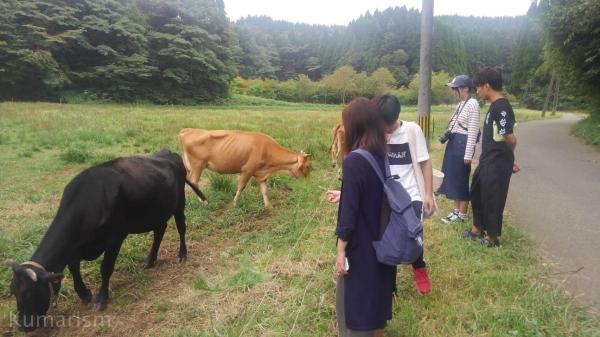 放牧されていた牛