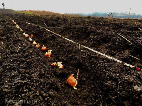 チューリップ畑の様子