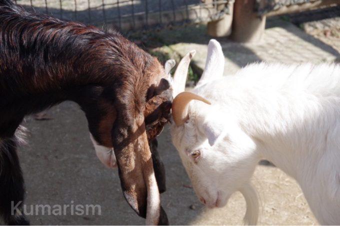 熊本市動植物園のヤギ