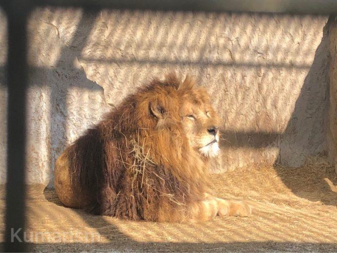 熊本市動植物園のライオン