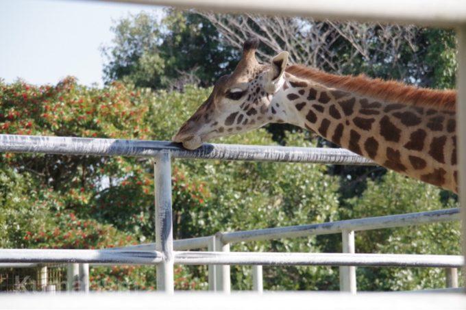 熊本市動植物園のキリン