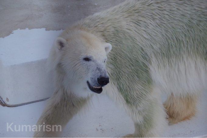 熊本市動植物園のホッキョクグマ