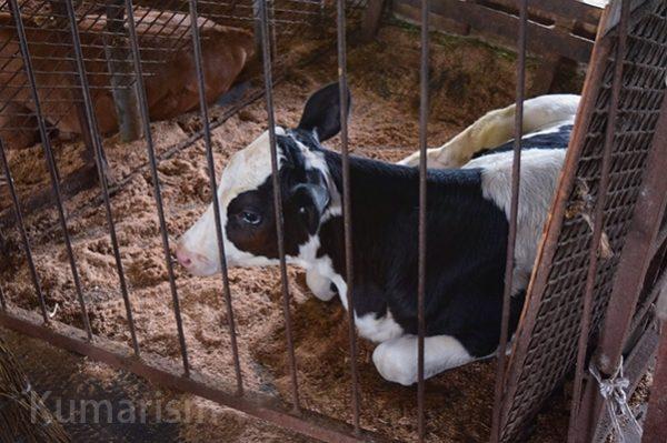 牛達が大切に育てられています!
